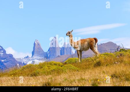 Guanaco (guanicoe lama) sur une colline à côté des tours Torres del Paine, parc national Torres del Paine, Ultima Esperanza, Patagonie, sud du Chili