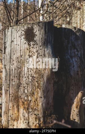 rassemblement de nombreux fourmis de forêt rouge sur un vieux tronc d'arbre sec le premier jour chaud de printemps, bois miniature