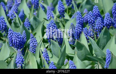 Fleurs bleues Muscari armeniacum et burgeons qui poussent sur la pelouse du parc de la ville.
