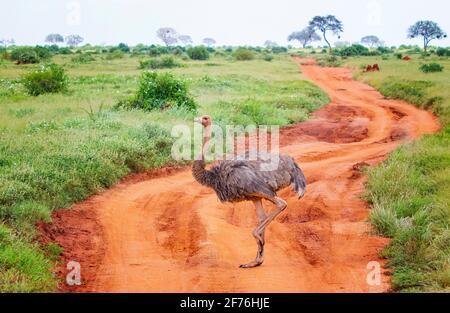 Gros plan d'un autruche se dresse sur une route de terre au milieu d'un safari à Tsavo est Kenya. C'est une photo de la faune sauvage d'Afrique.
