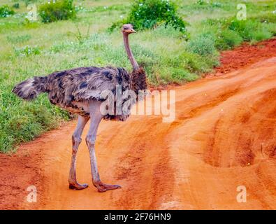 Gros plan d'un autruche se dresse sur une route de terre au milieu d'un safari à Tsavo est Kenya. C'est une photo de la faune sauvage d'Afrique. JE