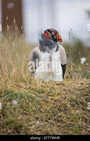 France, Maine-et-Loire, Doué-la-Fontaine, le zoo bioparc, le roi vautour (Sarcoramphus papa)