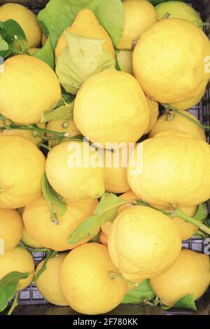France, Alpes Maritimes, Menton, récolte de citrons de Menton IGP