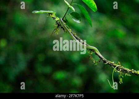 Oxybelis brevirostris, serpent à nez court de Cope, serpent rouge dans la végétation verte. Reptile forestier dans l'habitat, sur la branche des arbres, Costa Rica. Wi