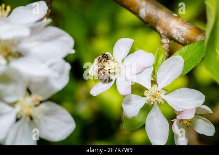 Une abeille, APIs mellifera, collectant le nectar et le pollen des étamines de pommiers blancs en fleur au printemps, Surrey, au sud-est de l'Angleterre, au Royaume-Uni