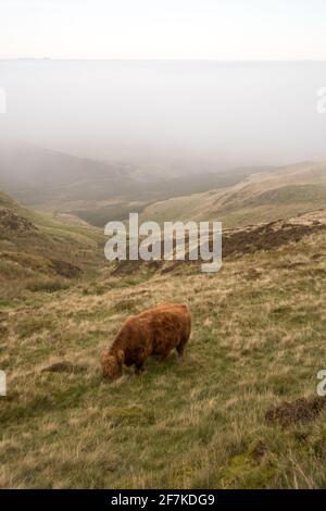 Une vache de montagne qui broutage sur une colline dans le brouillard