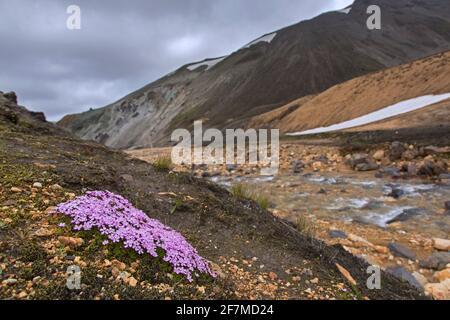 campion de mousse / coussin rose (Silene aculis) En fleur sur la toundra à Landmannalaugar en Islande