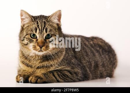 Chat domestique, le chat domestique (Felis silvestris catus). f, allongé sur le sol
