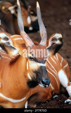 Mountain Bongo, Tragelaphus eurycerus, détail tête. On trouve des bongos dans des jungles tropicales avec une croissance dense jusqu'à une altitude de 4,000 Banque D'Images