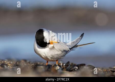 Petite sterne (albifrons de Sternula / albifrons de Sterna) le préage des plumes sur la plage