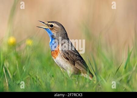 Bleuet à pois blancs (Luscinia svecica cyanula) appel / chant masculin dans la prairie au printemps
