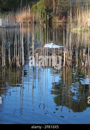 Des cygnes muets nichant sur le lac écossais dans un environnement urbain. Cygne blanc nichant parmi les roseaux du lac au printemps. Animaux sauvages capturés au printemps.