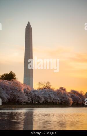 Lumière dorée remplissant le ciel et embrassant les sommets des cerisiers en fleurs le long du bassin de marée à Washington DC avec le Washington Monument.