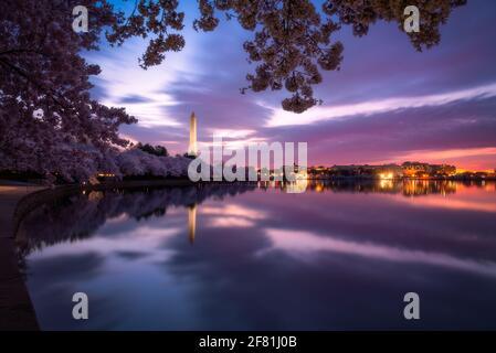 Heure bleue au Tidal Basin avec les célèbres cerisiers en fleurs de printemps de Washington DC.
