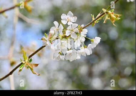 Fleurs, Sidcup, Kent. ROYAUME-UNI