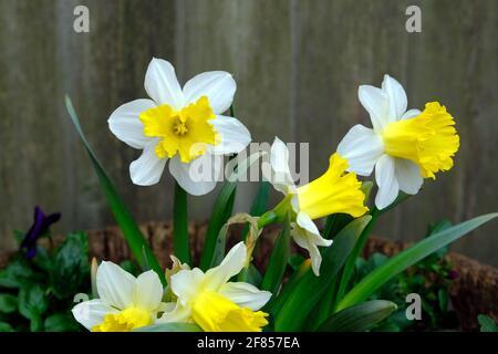 Groupe de daffodil blanc avec trompettes jaunes (Narcisse tazetta) dans un jardin de Glebe au printemps. Ottawa, Ontario, Canada.