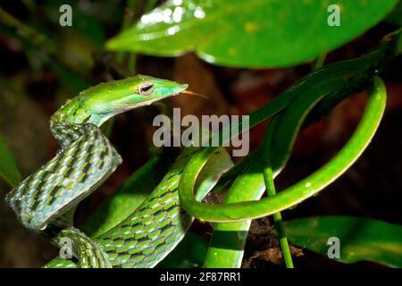 Serpent à vigne verte, serpent whip à long nez, Ahaetulla nasuta, forêt tropicale du parc national de Sinharaja, site du patrimoine mondial, UNESCO, Bioreserve, Sri Lanka, Comme Banque D'Images