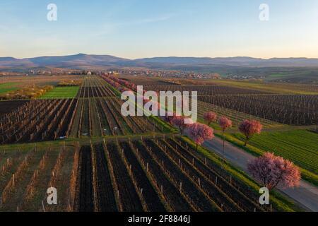 Gyongyostarjan, Hongrie - vue aérienne sur les magnifiques pruniers fleuris par la route. Paysage de lever de soleil de printemps, cerisiers en fleurs.