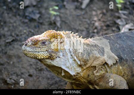 Gros plan d'un iguana de terre de Galapagos à Urbina Bay, Isabela Island, Galapagos, Equateur
