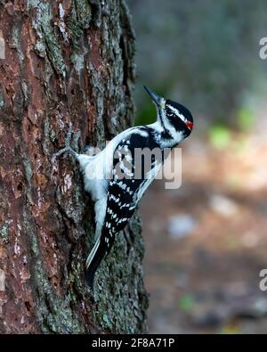 Pic à poils (Leuconotopicus villosus) - pic à poils mâles perchés sur le côté d'un arbre
