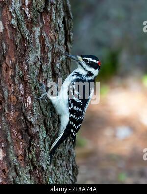 Pic à poils (Leuconotopicus villosus) sur le côté d'un arbre, il a été martelé