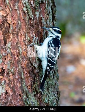 Pic à l'œuvre - UN pic à la chevelure mâle accrochant à un grand tronc d'arbre, avec un petit morceau de l'écorce accrochée de son long bec