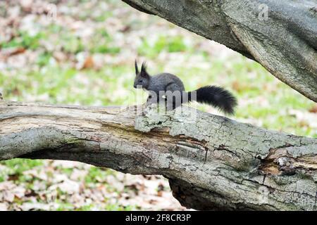Écureuil rouge eurasien Sciurus vulgaris forme noire