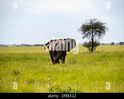 Parc national de Serengeti, Tanzanie, Afrique - 29 février 2020 : arrière d'un éléphant en marche, parc national de Serengeti