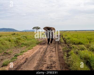 Parc national de Serengeti, Tanzanie, Afrique - 29 février 2020 : l'éléphant d'Afrique marche sur le sentier de terre du parc national de Serengeti
