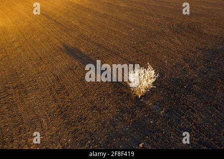 Vue aérienne d'un cerisier fleuri dans un champ de bois brun au coucher du soleil