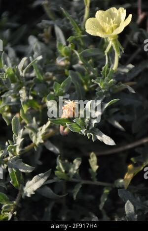 Photograh macro d'un Primula vulgaris communément appelé Primrose du soir jaune.