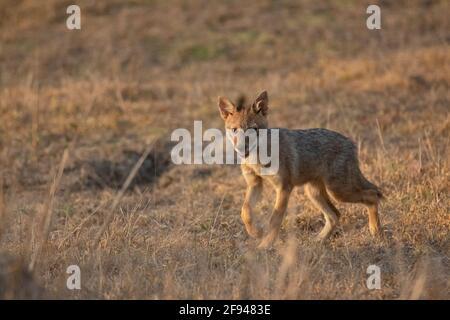 Indian Jackal Pup, (Canis aureus), Kanha, Madhya Pradesh, Inde