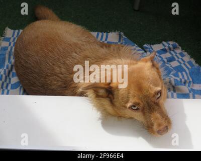 Un chien adopté d'Abkhazie prend le soleil sur le balcon de l'appartement, à Saint-Pétersbourg, en Russie