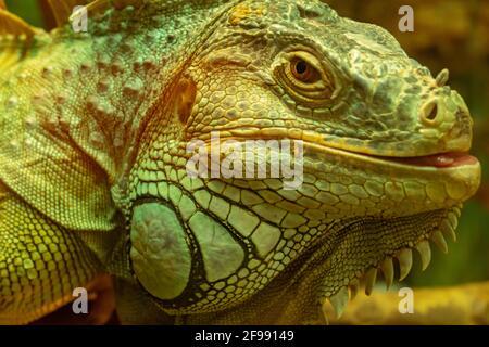 Iguana vert commun avec la languette dépassant en regardant la caméra gros plan