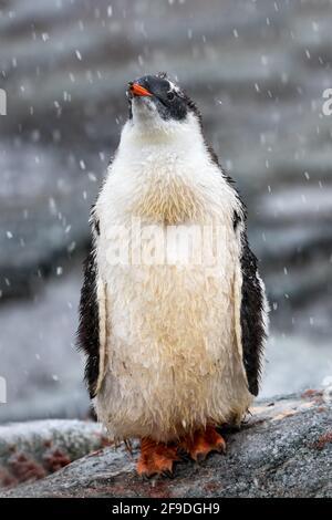 Penguin Gentoo debout sur le rocher pendant le neigeux
