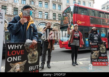 Londres, Royaume-Uni. 18 avril 2021. Un activiste parle à travers un mégaphone tandis que des collègues ont vu tenir des pancartes exprimant leur opinion pendant la manifestation.les activistes de la cruauté envers les animaux Peta UK (People for the Ethical Treatment of Animals) protestent contre le traitement inhumain des coyotes par la Bernache du Canada, À l'extérieur du magasin d'oies du Canada, à Piccadilly Circus, montrant des infographies détaillant la cruauté envers les animaux qui se produit dans l'industrie de la mode. Crédit : SOPA Images Limited/Alamy Live News