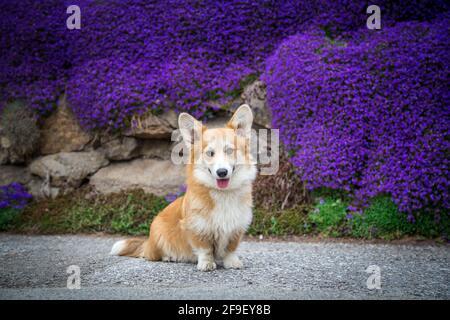 Galloise Corgi Pembroke femelle chien assis devant le violet fleurs