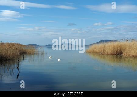 Marais muets sur l'eau, lac Balaton, Balatonfenyves, comté de Somogy, Hongrie, Magyarország, Europe
