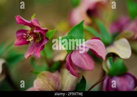 Lenten Rose (Helleborus orientalis)