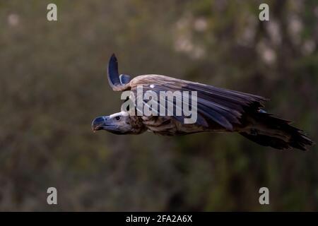 La vautour de griffon en vol (Gyps fulvus) qui s'envolent à travers les arbres. Les charognards en Afrique et au Moyen-Orient.