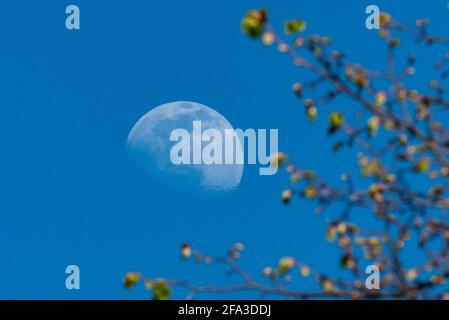 Londres, Royaume-Uni. 22 avril 2021. Météo au Royaume-Uni : une lune de gibbure à 75 % cirant s'élève derrière les arbres au-dessus du nord-ouest de Londres, lors d'une soirée claire. La pleine lune de ce mois aura lieu le 26/27 avril et est connue sous le nom de lune rose et de superlune. Credit: Stephen Chung / Alamy Live News