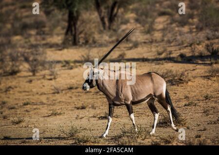 Vue latérale de marche de l'Oryx d'Afrique du Sud en terre sèche dans le parc transfrontier de Kgalagadi, Afrique du Sud; espèce de la famille des Bovidae Oryx gazella