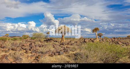 Paysage africain avec la forêt de Quivertree et des rochers en granit avec un ciel spectaculaire. Keetmanshoop Namibie