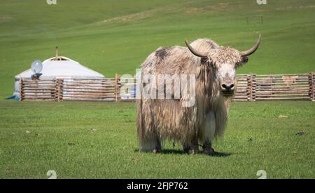 Yak mongol (Bos grunniens) près d'une yourte de nomades, province d'Arkhangai, Mongolie Banque D'Images