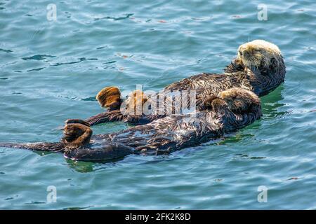 Loutres de mer de Californie au repos, Enhydra lutris Nerei , Morro Bay, Californie