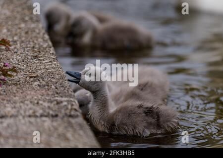 Wapping Canal, Londres, Royaume-Uni. 28 avril 2021. Des cygnes sont sortis pour le petit-déjeuner sur un canal urbain à Wapping, dans l'est de Londres. On pense que les cygnes de Wapping sont parmi les premiers à éclore chaque année dans le centre de Londres. Wapping, Tower Hamlets, Londres, E1W Amanda Rose/Alamy