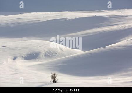 Bouleau solitaire dans un paysage enneigé dans le parc national de Dovrefjell–Sunndalsfjella en hiver, en Norvège