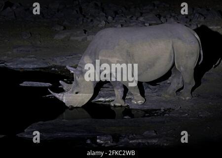 Rhino près du trou d'eau, nuit dans le désert de sable, Etocha NP, Namibie, Afrique. Rhinocéros noirs ou rhinocéros à lèvres accrochantées, Diceros bicornis, dans le natu