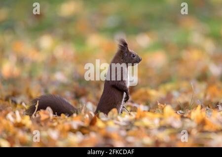 Alerte écureuil rouge eurasien (Sciurus vulgaris) recherche d'un danger au sol dans la litière de feuilles le plancher de la forêt en automne bois