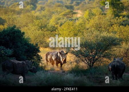 Rhino dans l'habitat forestier. Rhinocéros blancs, Ceratotherium simum, avec cornes, dans l'habitat naturel, Pilanesberg, Afrique du Sud. Scène sauvage du natu